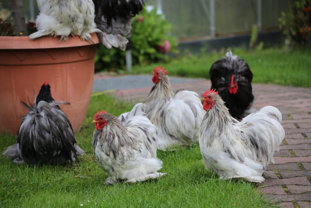 Zwerghühner auf der Wiese