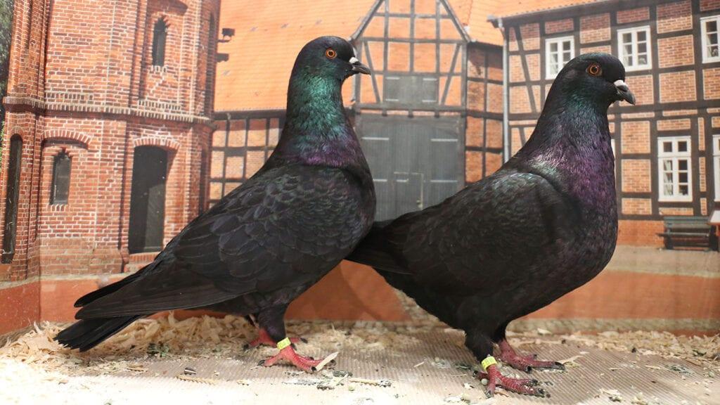 Glanztauben-Paar bei einer Ausstellung