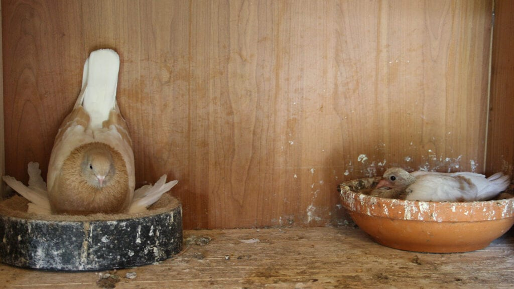Kropfmilch sorgt für einen guten Start ins Taubenleben