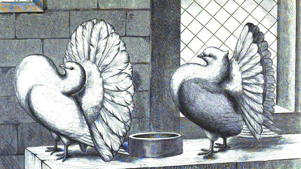Pfautauben wurden bei der Einteilung der Tauben schon immer besonders bedacht