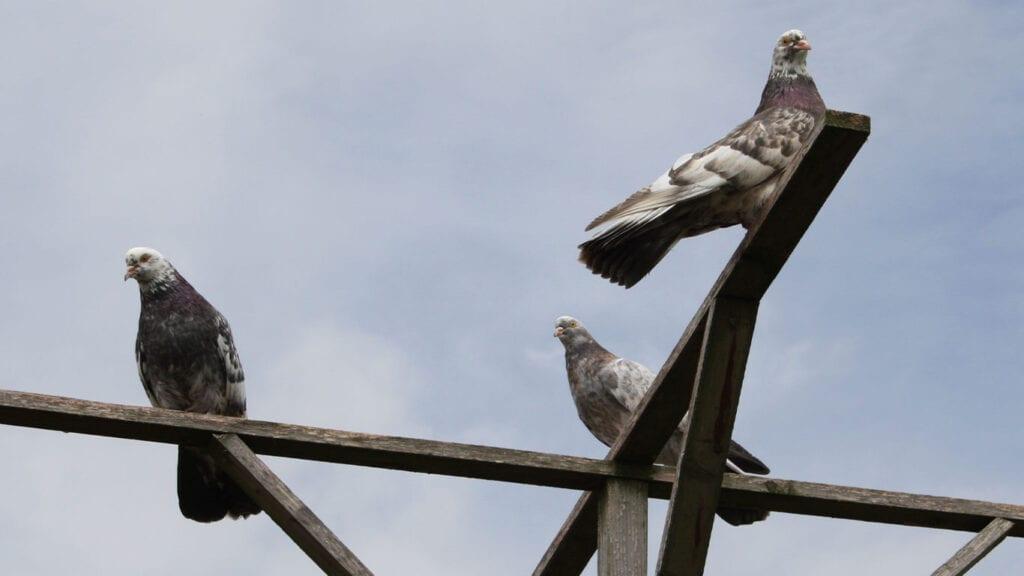 Bei Tauben im Freiflug ist eine gute Struktur der Schwungfedern gegeben