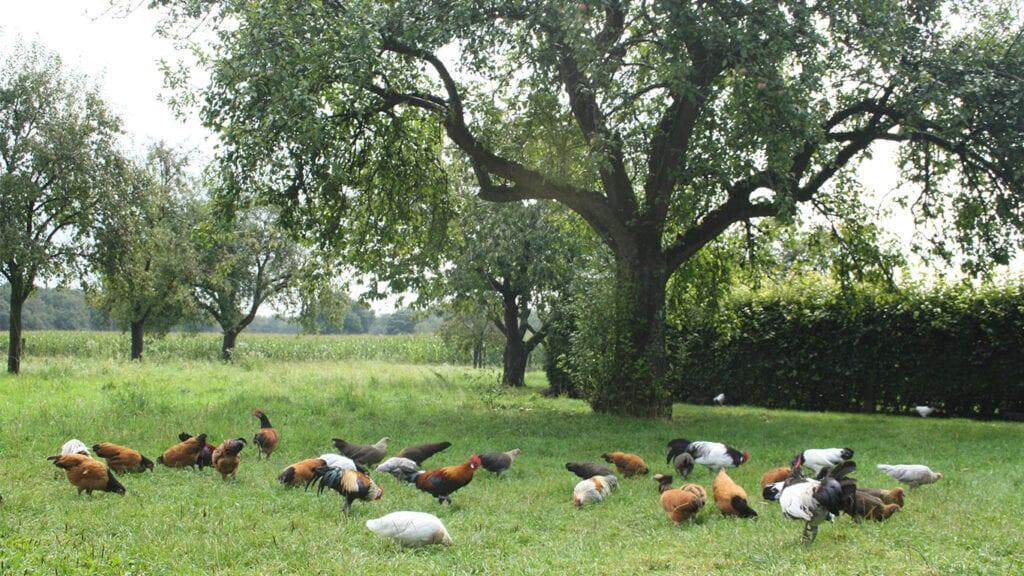 Das richtige Huhn lässt sich für jeden Anspruch finden