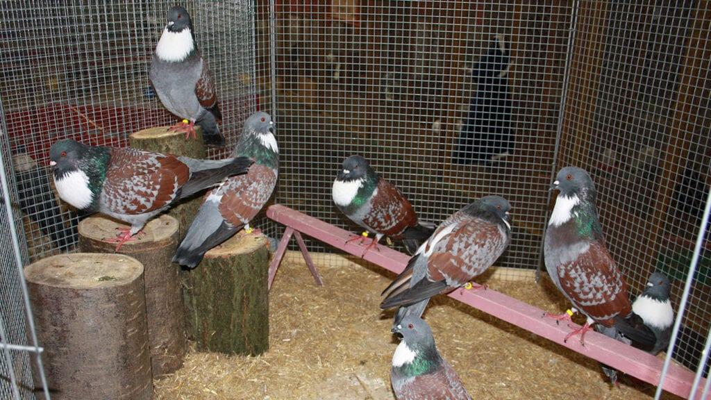 Fremdbefruchtungen sind ein häufiges Problem in der Taubenzucht