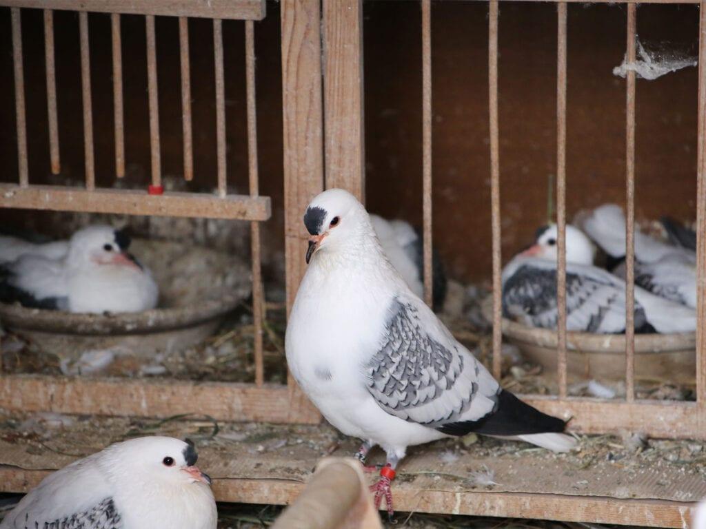 Jungtiere und Alttiere der Thüringer Flügeltauben