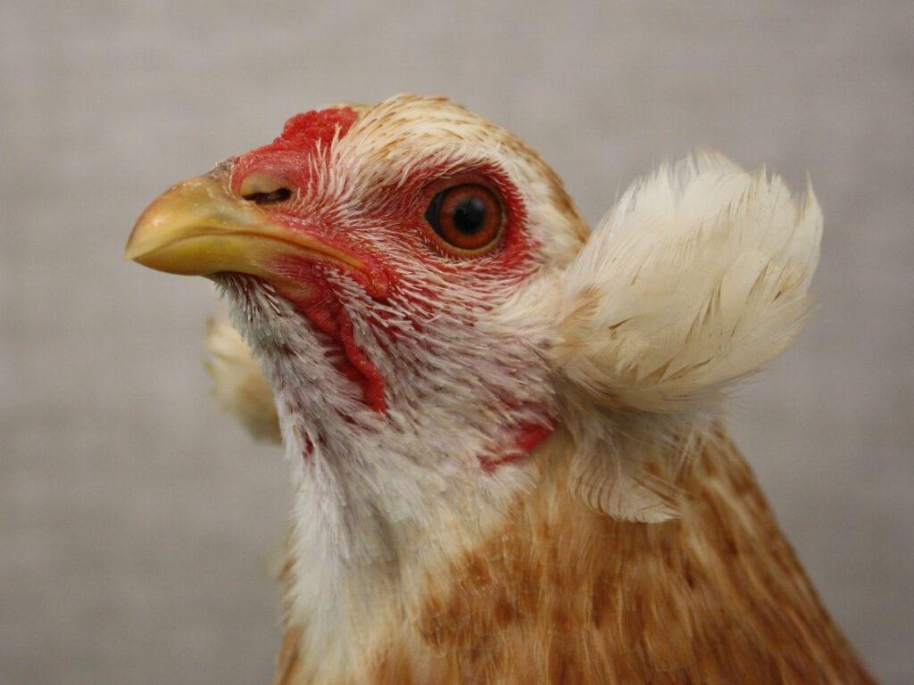 Prima Bammeln bei einer weizenfarbigen Henne