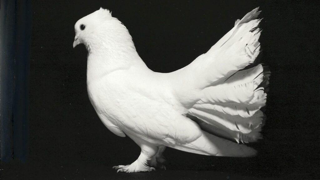 Weiße Indische Pfautauben waren 1977 Neue Tauben