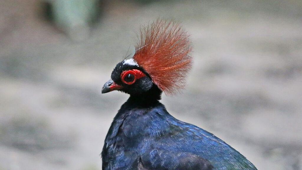 Der leuchtend rote Schopf ist das Merkmal der Hähne der Straußwachteln