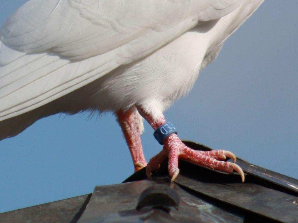 Laufschuppung mit Ausstrahlung bei unseren Tauben