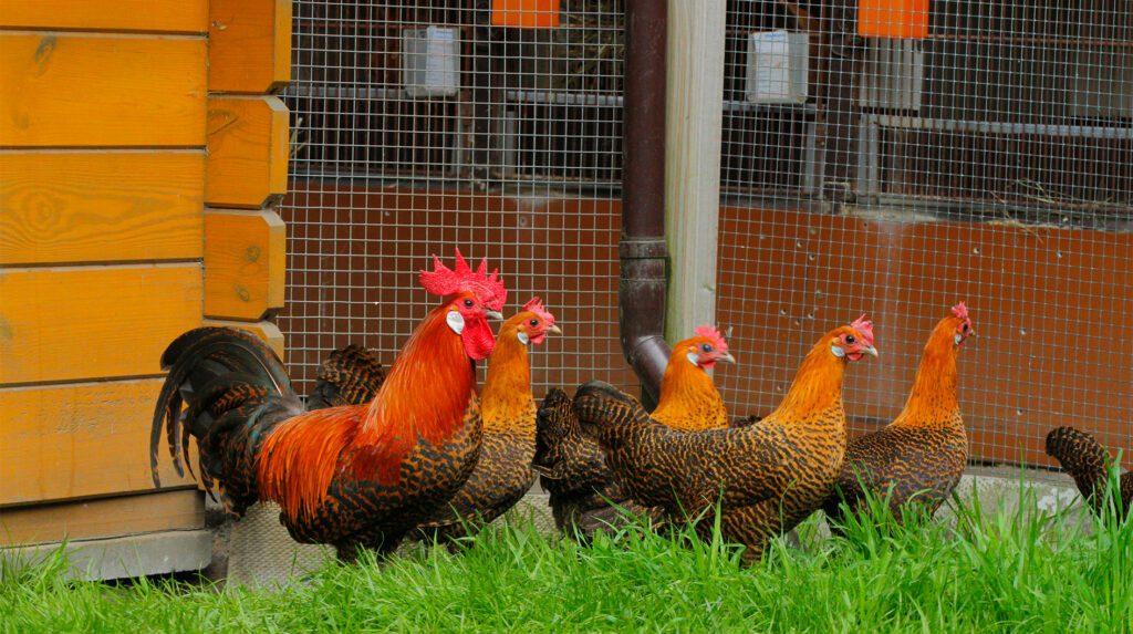 Eine Herde Zwerghühner auf grüner Wiese bereichert jeden Garten